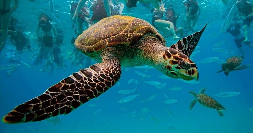 Amenazas de la tortuga carey