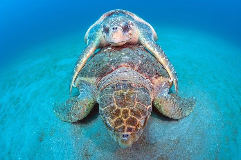 Apareamiento de tortuga boba