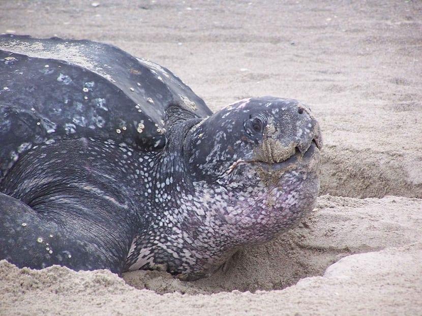 Boca de la tortuga baula