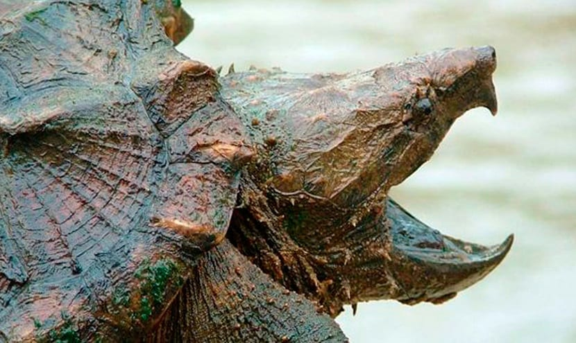 Boca de la tortuga caimán
