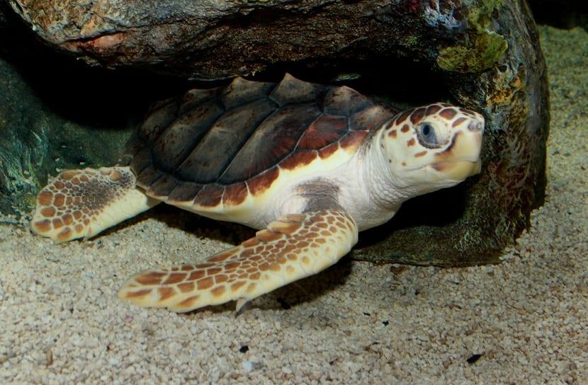 Características de la tortuga boba