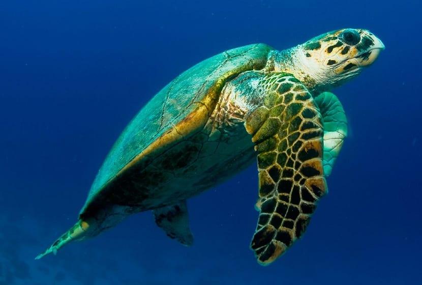 Características de la tortuga carey