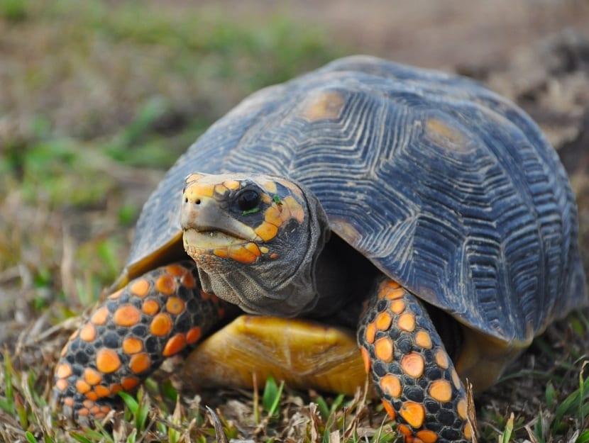 Características de la tortuga de patas rojas