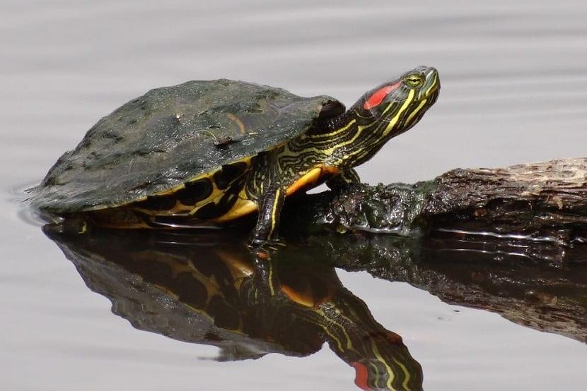 Características de las tortugas de florida