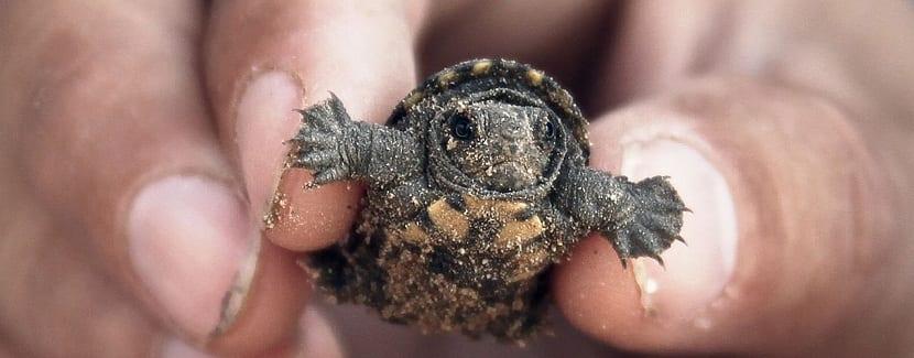 Cría de tortuga galápago