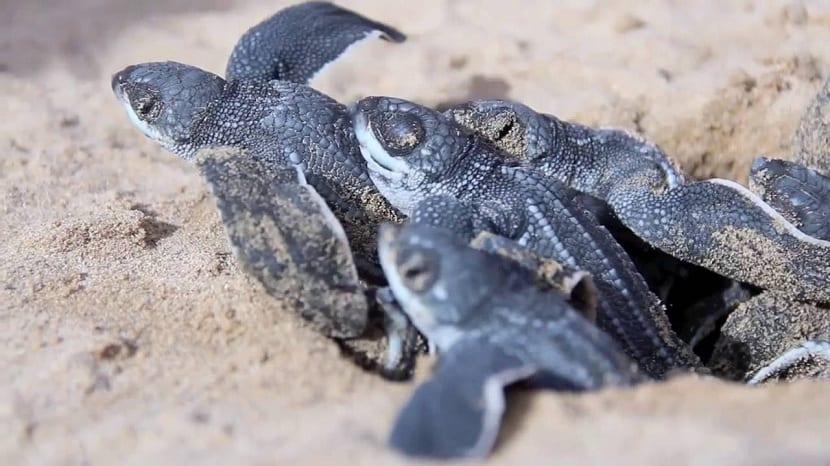Crías de tortuga baula