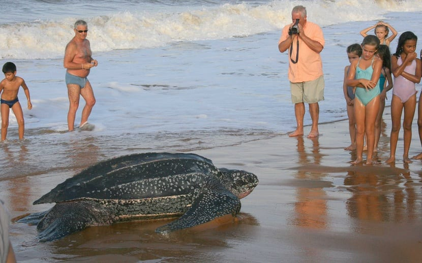 Principales amenazas de la tortuga baula
