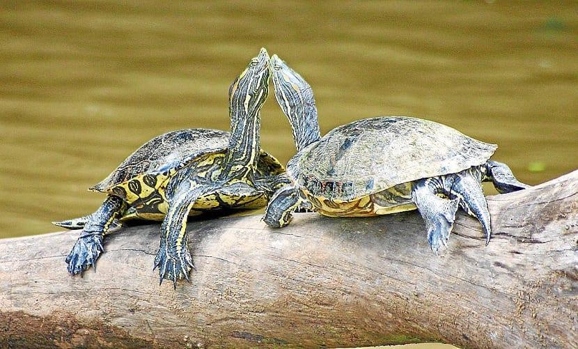 Reproducción de la tortuga de florida