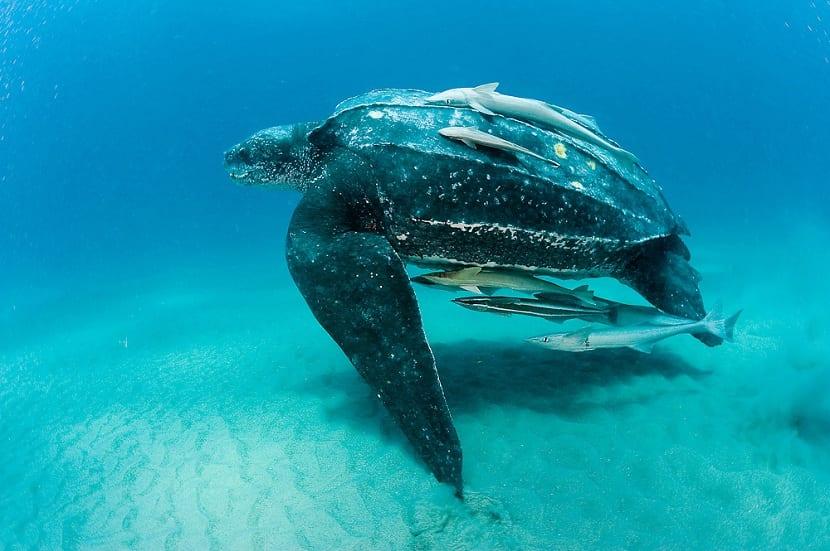 tamaño de la tortuga baula