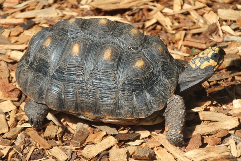 Tortuga carbonaria (Chelonoidis carbonaria)