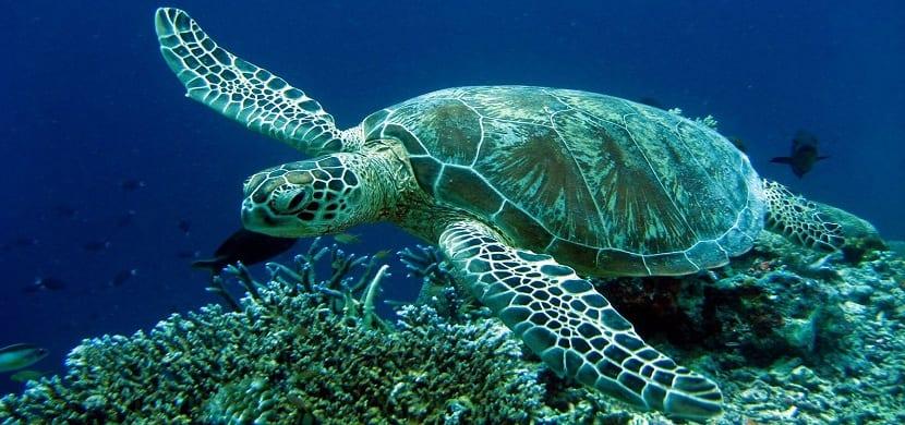 alimentación de la tortuga boba