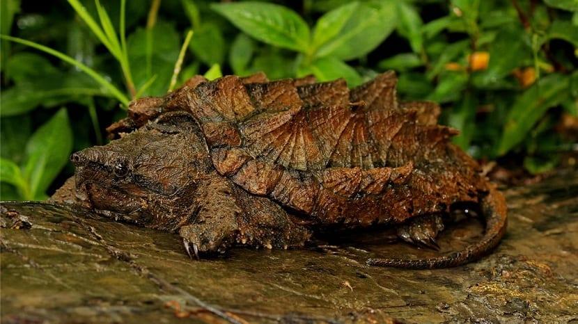 caparazón de la tortuga caimán
