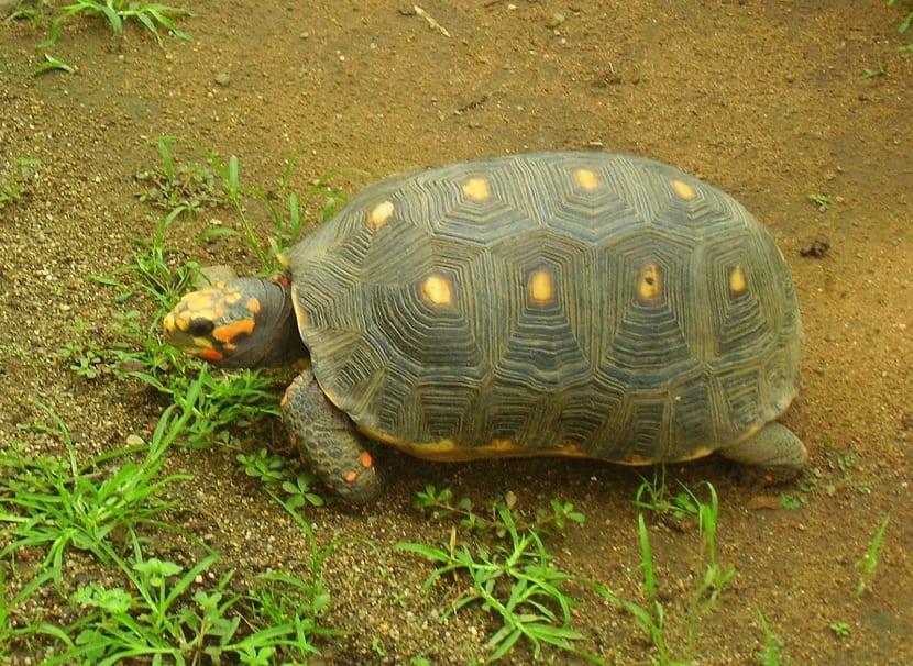 ciclo de vida de la tortuga de patas rojas