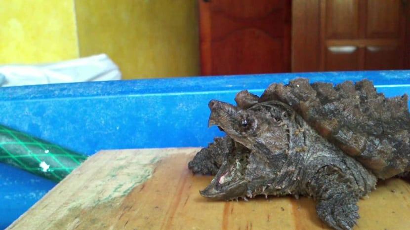 cría de tortuga caimán
