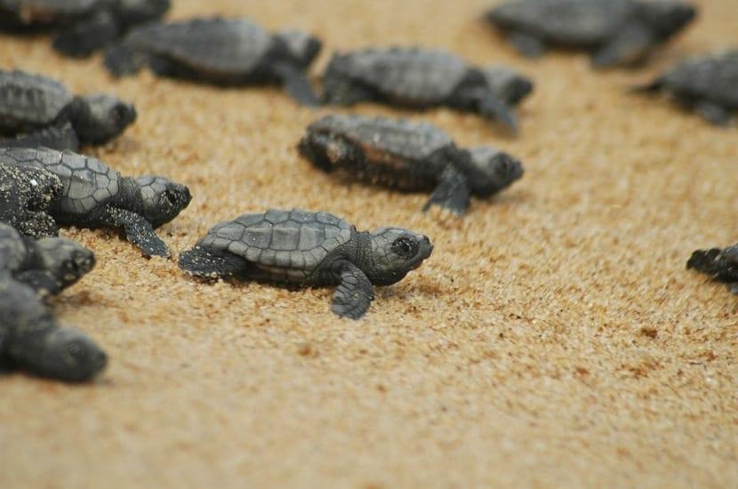 crías de tortuga boba