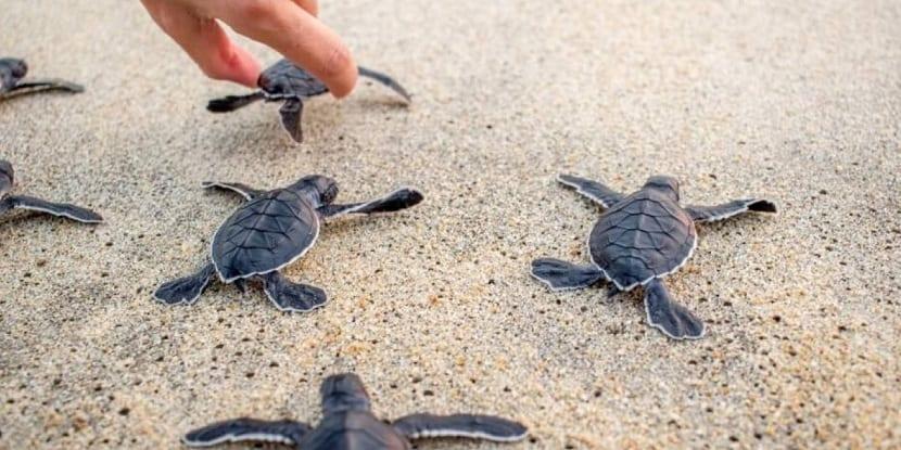 crías de tortuga carey