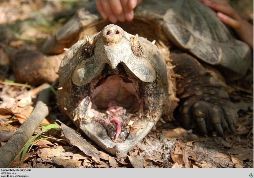 lengua de la tortuga caimán