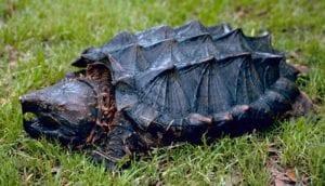 tortuga caimán (Macrochelys temminckii)