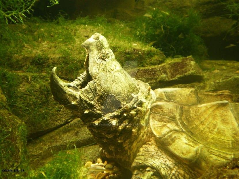 tortuga caimán sumergida