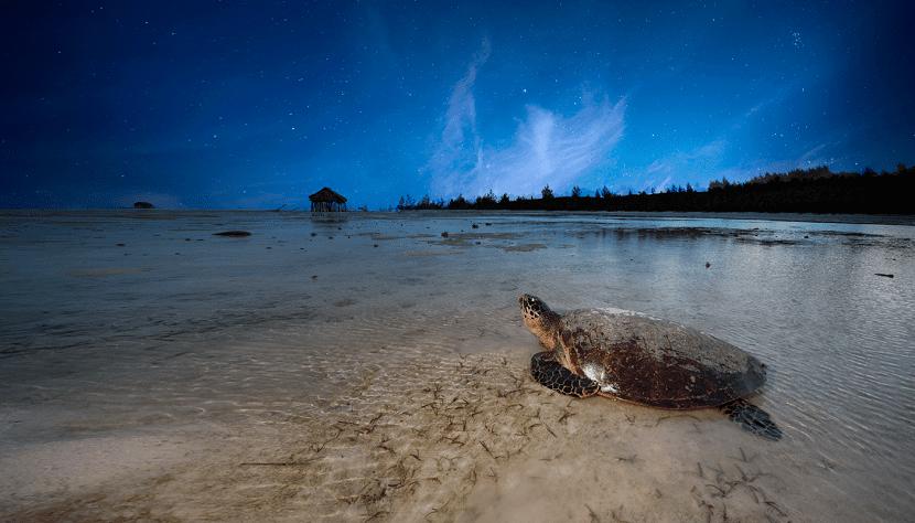 tortuga carey en peligro de extinción