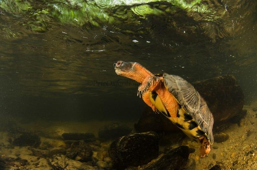 Alimentacion de la tortuga del bosque