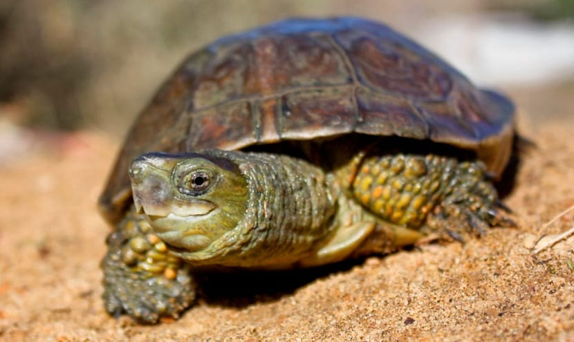 Amenazas de la tortuga leprosa