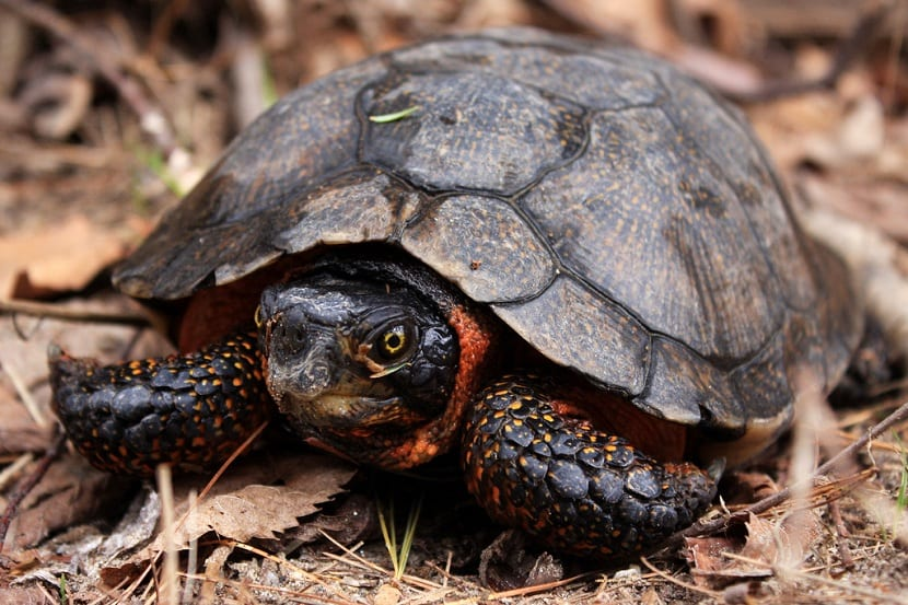 Características de la tortuga del bosque