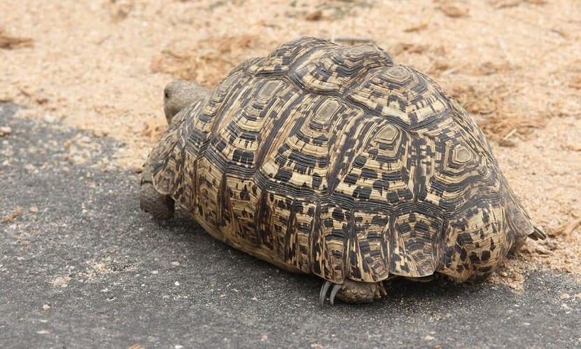Características de la tortuga leopardo