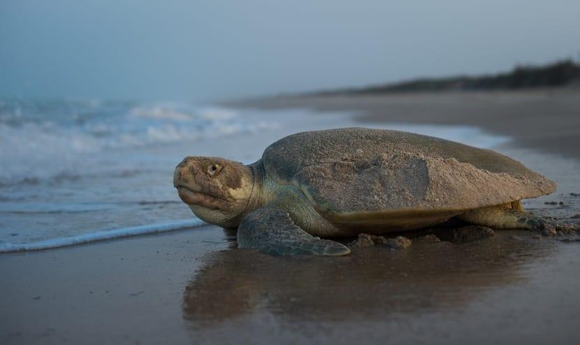 Características de la tortuga lora