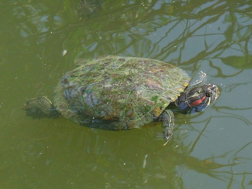 Caracteristicas de la tortuga de orejas rojas