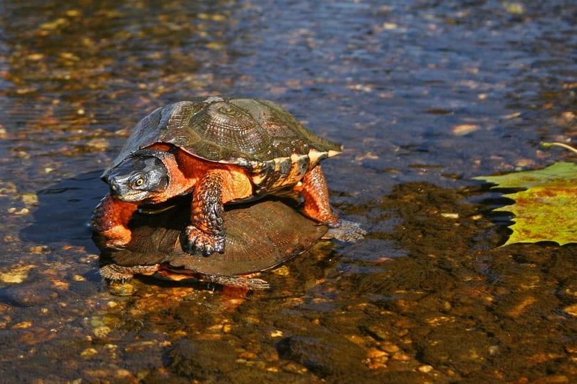 Ciclo de vida de la tortuga del bosque