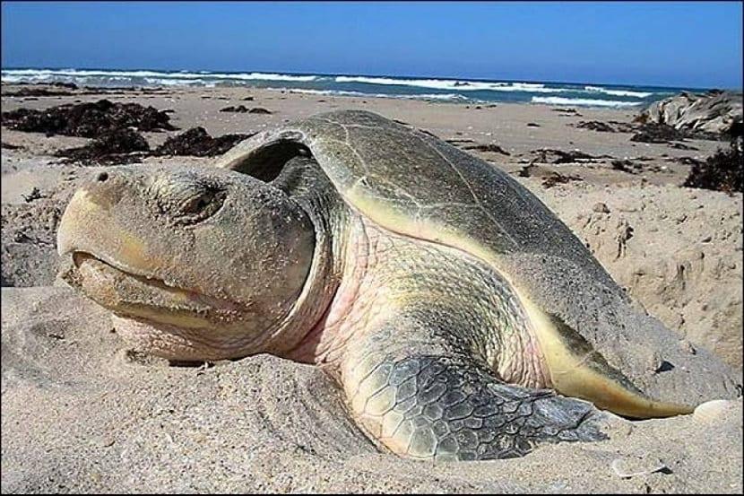 Comportamiento de la tortuga lora
