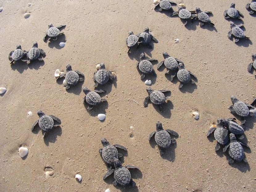 Crías de la tortuga lora