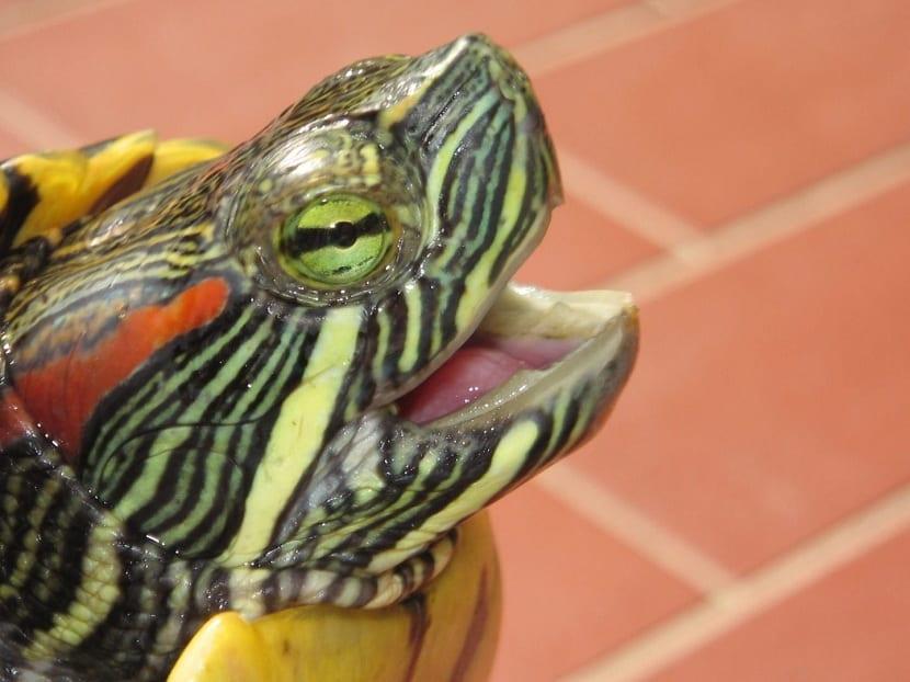 Cuidados necesarios de la tortuga de orejas rojas