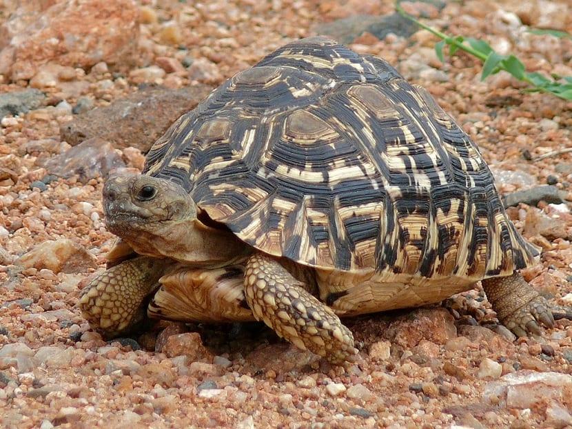 cuidados de la tortuga leopardo