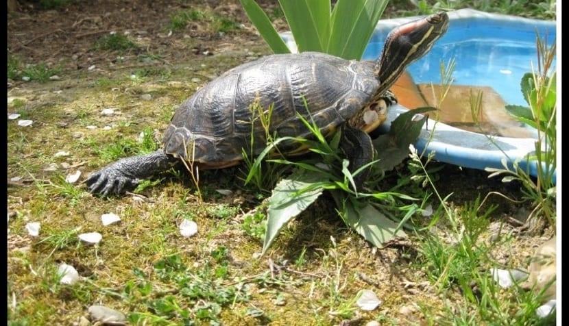 Piscina para la tortuga