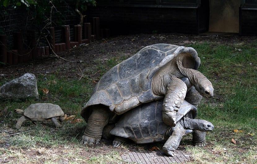 Reproducción de la tortuga gigante de Aldraba