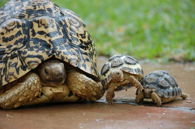 Reproducción de la tortuga leopardo