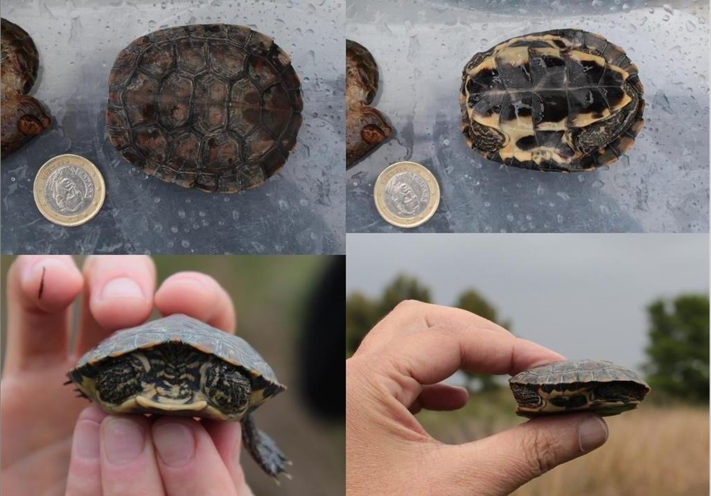 Reproduccion de la tortuga leprosa