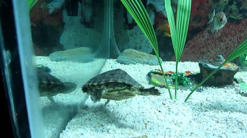 Tortuga de orejas rojas en acuario