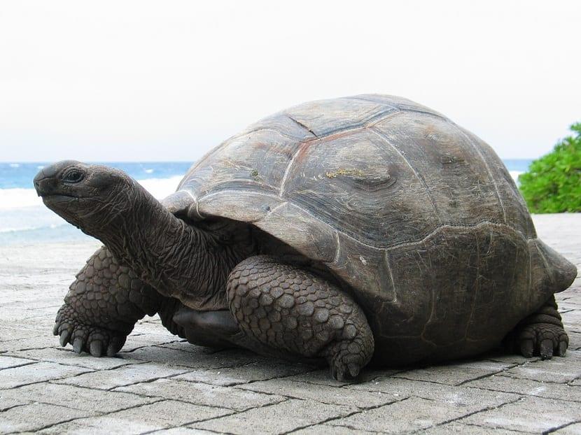 Tortuga gigante de Aldraba y sus característica