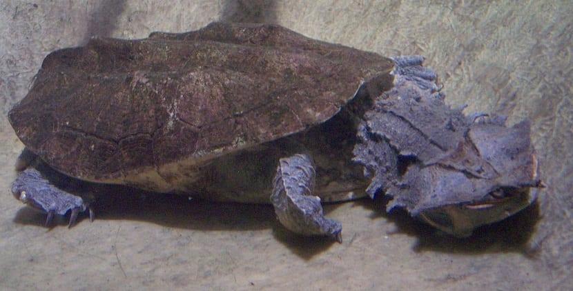 Vida salvaje de Tortuga matamata