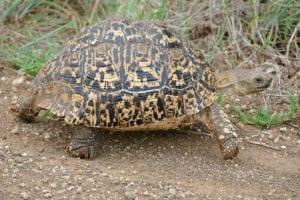 tortuga leopardo