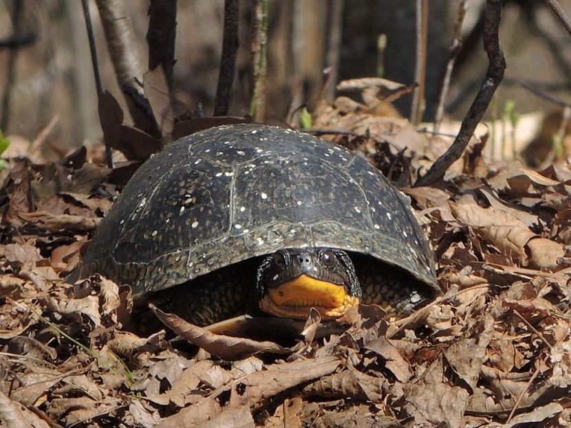 Alimentación de la tortuga de blanding