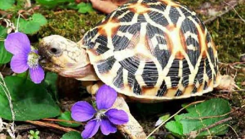 Alimentación de la tortuga estrellada
