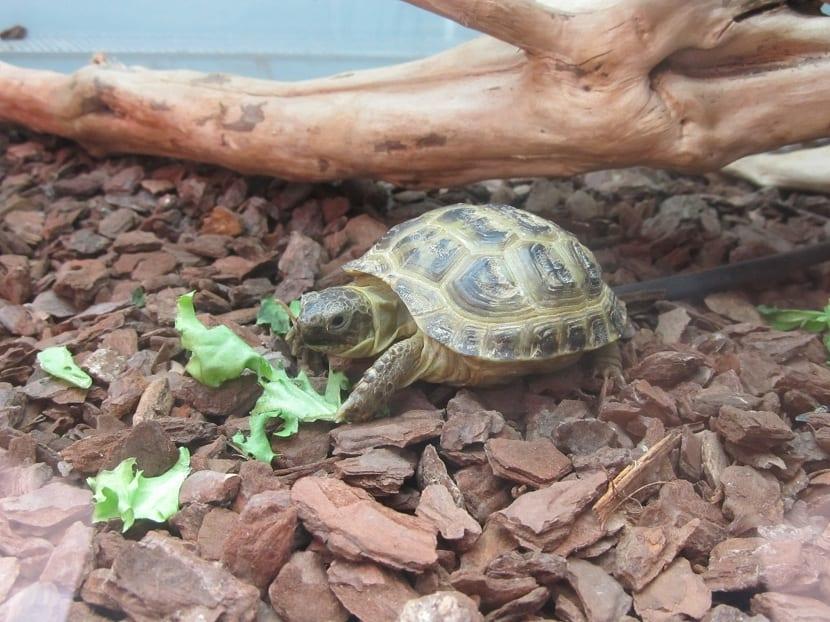 Alimentación de la tortuga rusa
