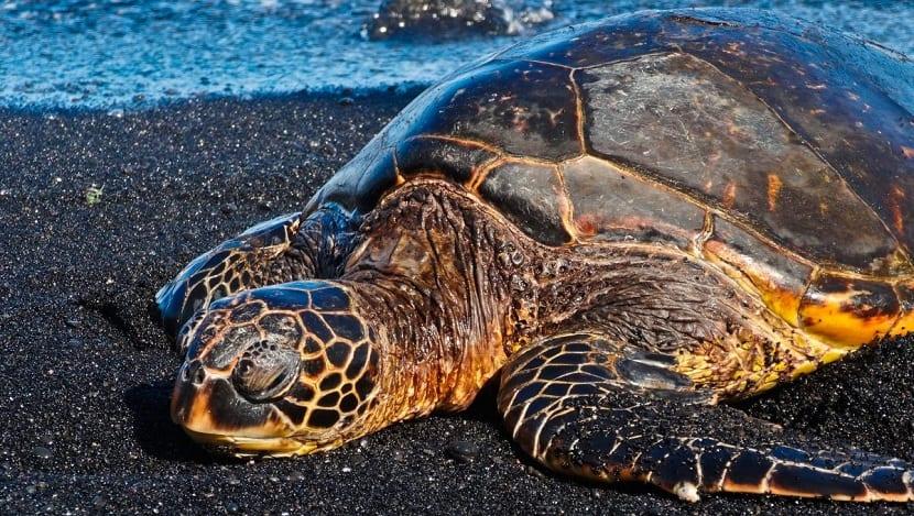 Amenazas de la tortuga verde