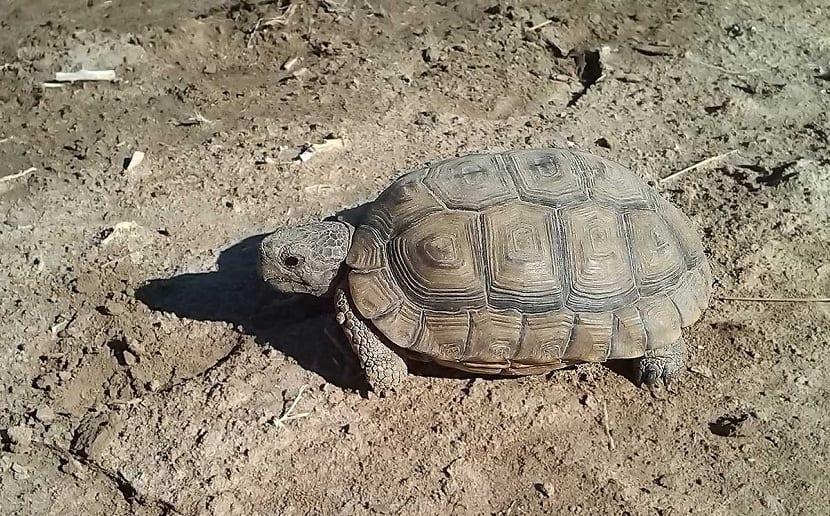 Características de la tortuga argentina