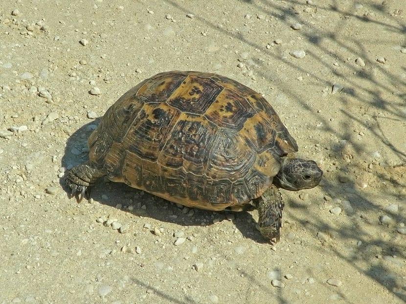 Características de la tortuga mora