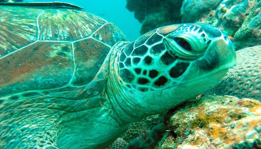 Características generales de la tortuga verde